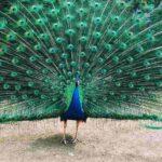 essay on peacock